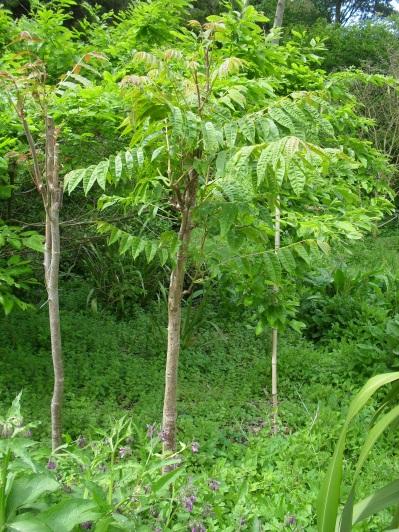 Toona sinensis