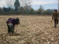 Plantando ciruelos para ser injertados con almendros