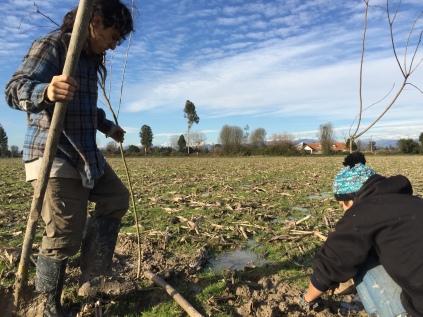 Plantando culenes